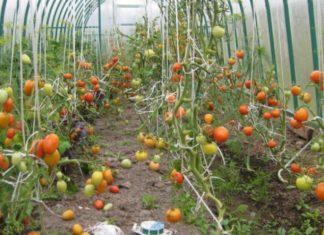 не краснеют помидоры в теплице что делать