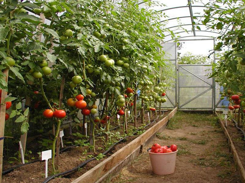 Лучшие сорта помидор тепличные: посадка и уход