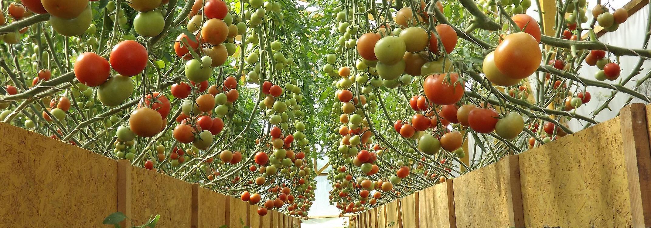 помидоры в теплице выращивание и уход
