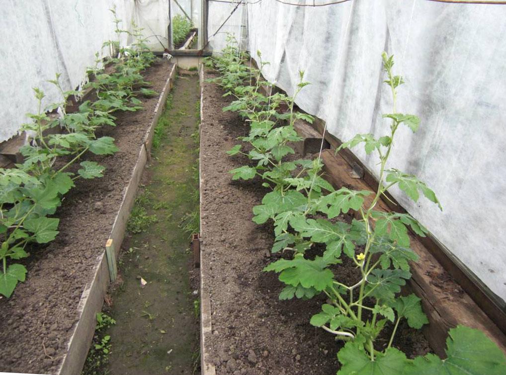 Где лучше выращивать арбузы в теплице или на земле