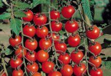 Сорта томатов для теплиц, устойчивые к фитофторе