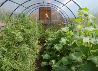 помидоры и огурцы в одной теплице